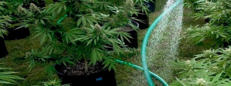 Wie viel wasser cannabis