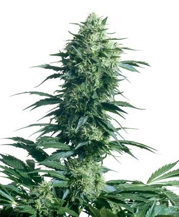 Mother's Finest® Hanfsamen Cannabis Samen