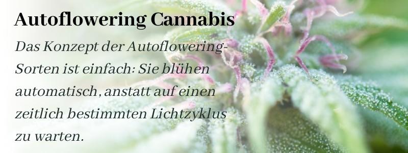Das Konzept von Autoflowering Cannab is Sorten