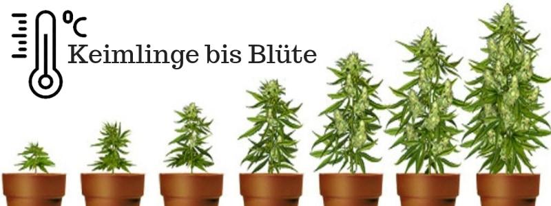 Die ideale Temperatur für Cannabis je nach Wachstumsphase