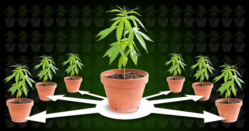 Was ist cannabis klonen