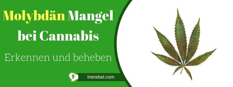 Molybdän Mangel bei Cannabis