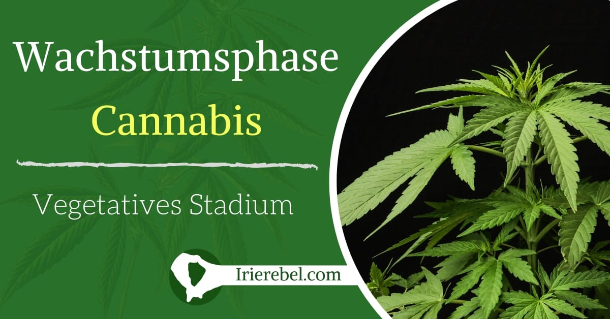 Vegetatives Stadium - Wachstumsphase Cannabis