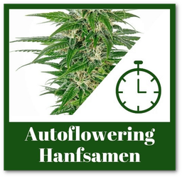 Autoflowering Hanfsamen kaufen