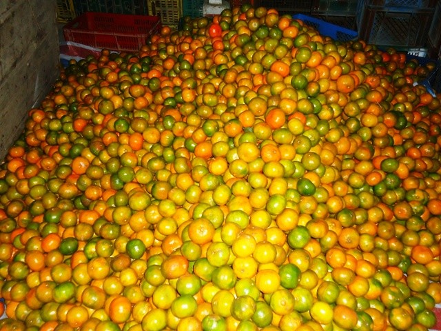 El auge de la citricultura en Chone - Revista LA GENTE de Manabí