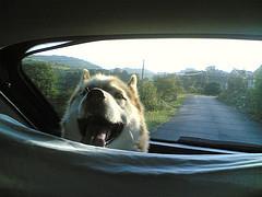 Lassen Sie Ihren Hund bei Hitze niemals im Auto!