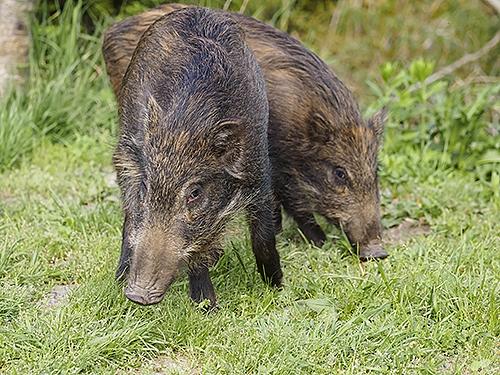 二ホンイノシシ Cinghiale Wild boar Sus scrofa