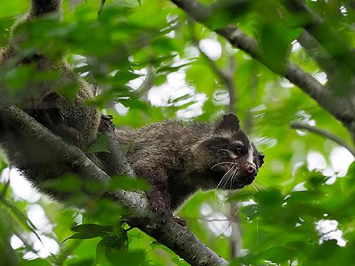 ハクビシン Civetta delle palme mascherata Masked palm civet Paguma larvata