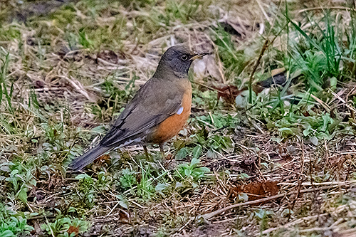 アカハラ Brown-headed thrush Turdus chrysolaus