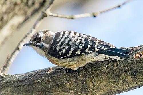 コゲラ Japanese Pygmy Woodpecker Dendrocopos kizuki