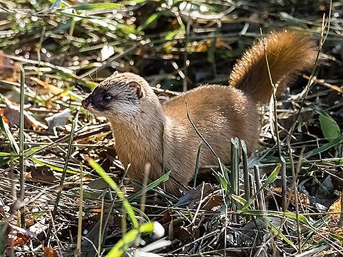 二ホンイタチ Donnola giapponese Japanese weasel Mustela itatsi