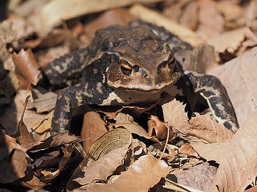 アズマヒキガエル Japanese toad Bufo japonicus formosus