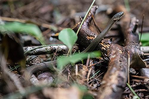 ヒバカリ Japanese keelback Amphiesma vibakari
