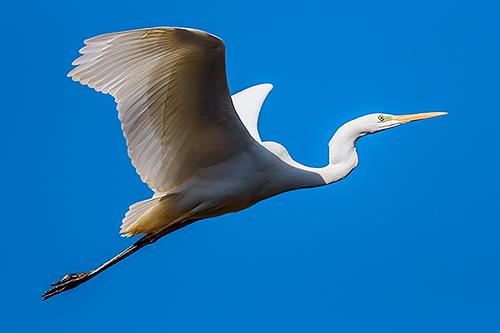ダイサギ Airone bianco maggiore Great Egret Ardea alba