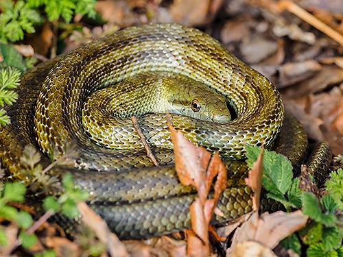 アオダイショウ Japanese rat snake Elaphe climacophora