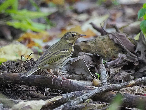 ビンズイ Olive-backed Pipit Anthus hodgsoni