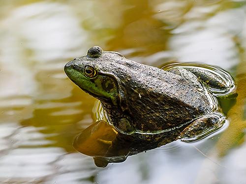 ウシガエル Rana toro American bullfrog Lithobates catesbeiana