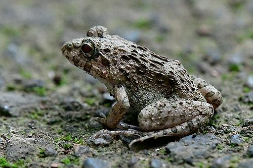 ヌマガエル Indian Rice Frog Fejervarya kawamurai