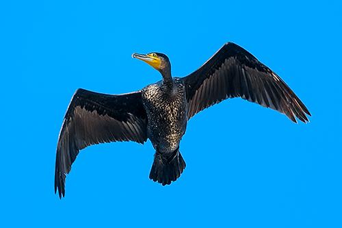 カワウ Cormorano comune Great cormorant Phalacrocorax carbo