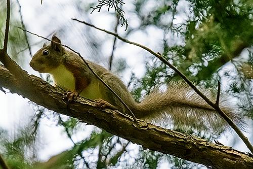 二ホンリス Scoiattolo del Giappone Japanese squirrel Sciurus lis