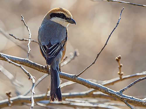 モズ Bull-headed shrike Lanius bucephalus