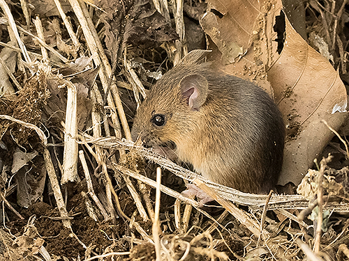 アカネズミ Large Japanese field mouse Apodemus speciosus