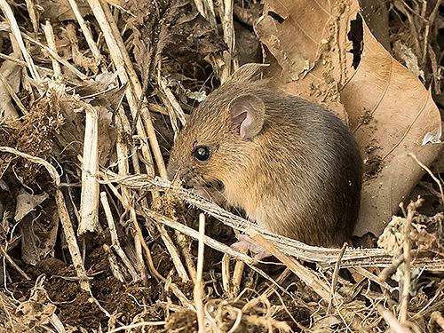 アカネズミ Large Japanese field mouse Apodemus speciosus