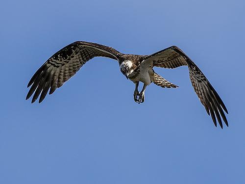 ミサゴ Falco pescatore Osprey Pandion haliaetus
