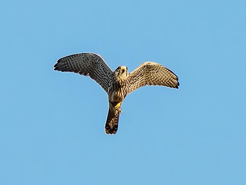 チョウゲンボウ Gheppio comune Common kestrel Falco tinnunculus