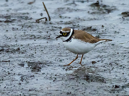 コチドリ Corriere piccolo Little ringed plover Charadrius dubius
