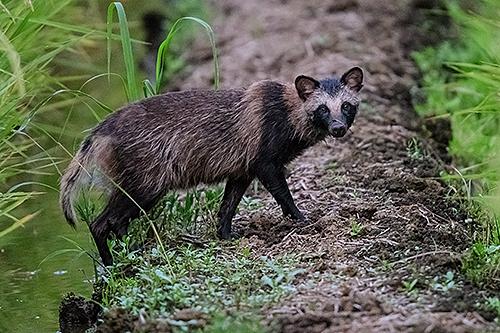 タヌキ Cane procione Raccoon dog Nyctereutes procyonoides