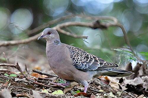 キジバト Eastern turtle dove Streptopelia orientalis