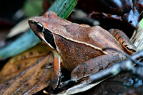 ニホンアカガエル Japanese Brown Frog Rana japonica
