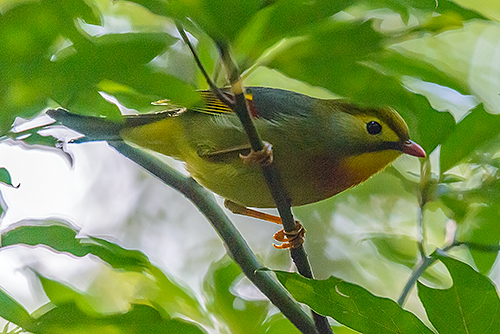ソウシチョウ Usignolo del Giappone Red-billed leiothrix