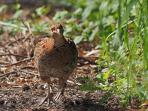 ヤマドリ Fagiano ramato Copper pheasant Syrmaticus soemmerringii (F)