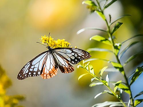 アサギマダラ Chestnut tiger Parantica sita