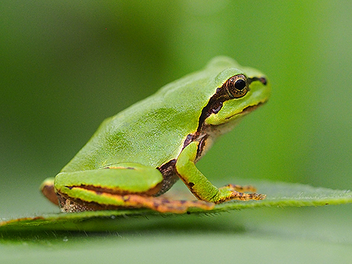 二ホンアマガエル Ila giapponese Japanese tree frog Hyla japonica