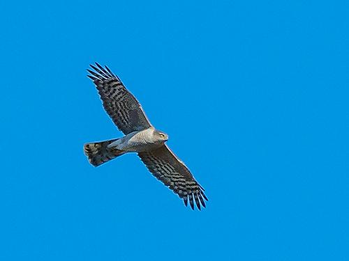 ハイタカ Sparviero eurasiatico Sparrowhawk Accipiter nisus (F)