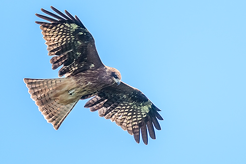 トビ Nibbio bruno Black kite Milvus migrant