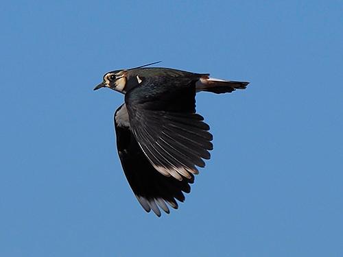 タゲリ Pavoncella Northern lapwing Vanellus vanellus