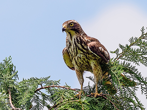 サシバ Grey-faced buzzard Butastur indicus
