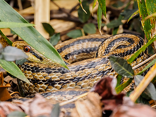 シマヘビ Serpente a strisce giapponese Japanese striped snake Elaphe quadrivirgata