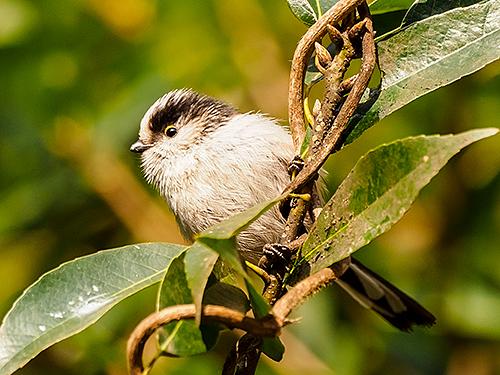 エナガ Codibugnolo Long-tailed tit Aegithalos caudatus