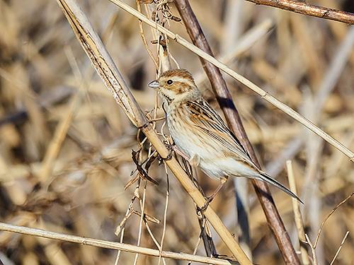 オオジュリン Migliarino di palude Common reed bunting Emberiza schoeniclus (M)