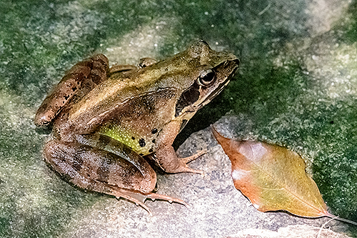 ヤマアカガエル Montane brown frog Rana ornativentris