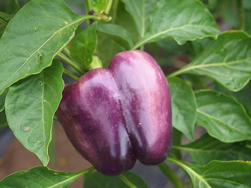 紫ピーマン:アイランダー