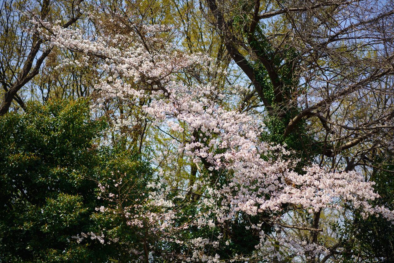 川崎市多摩区 緑ヶ丘霊園の桜