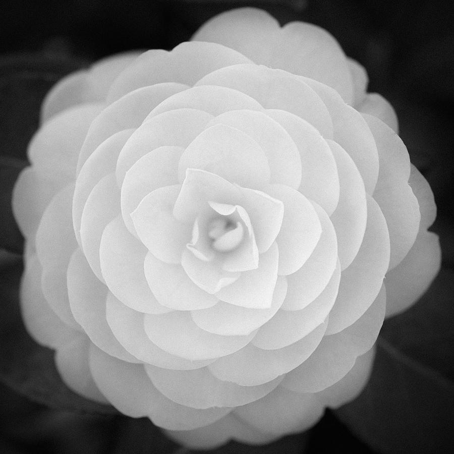 千重咲きの乙女つばきを白黒写真で