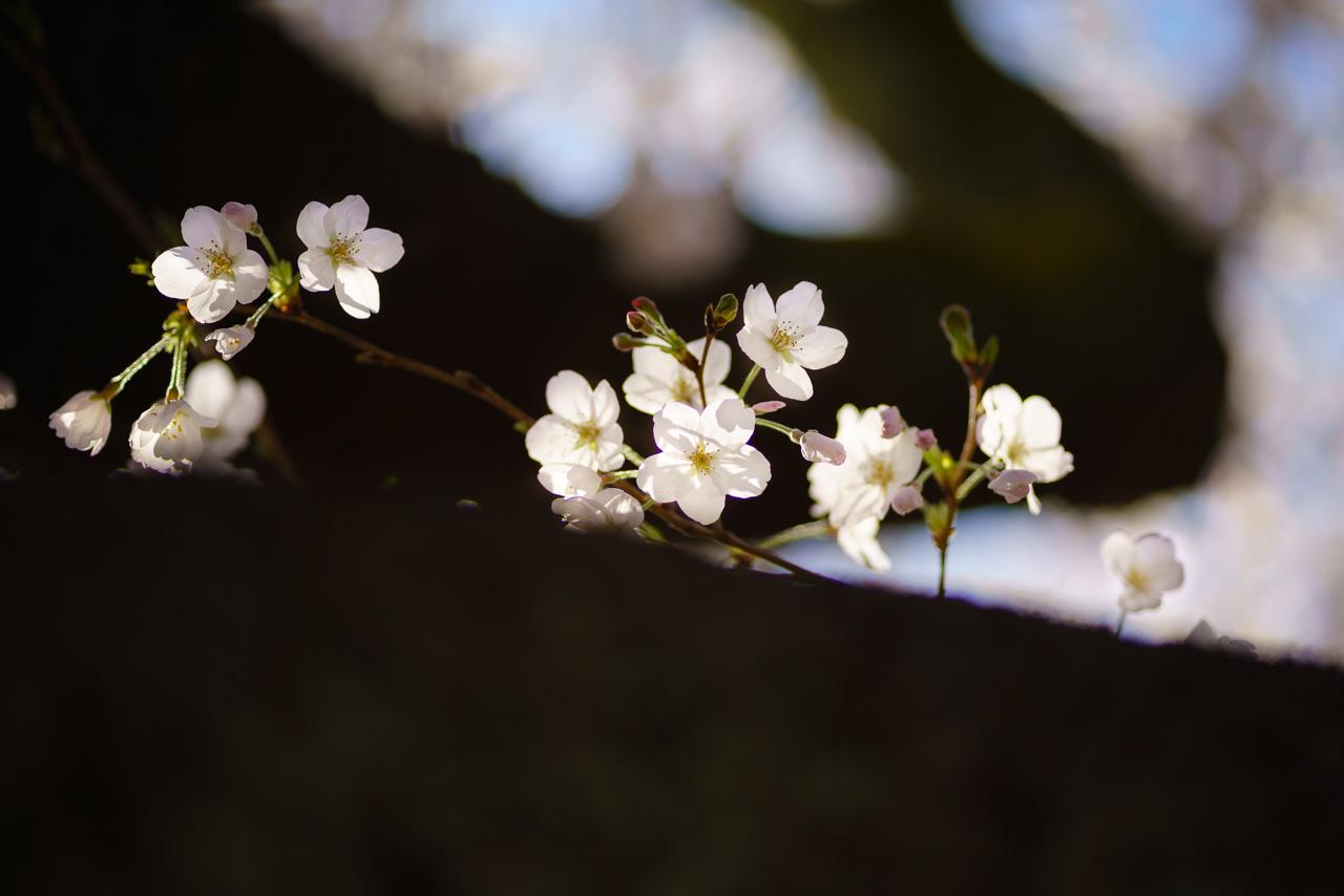 川崎市多摩区 宿河原用水の桜
