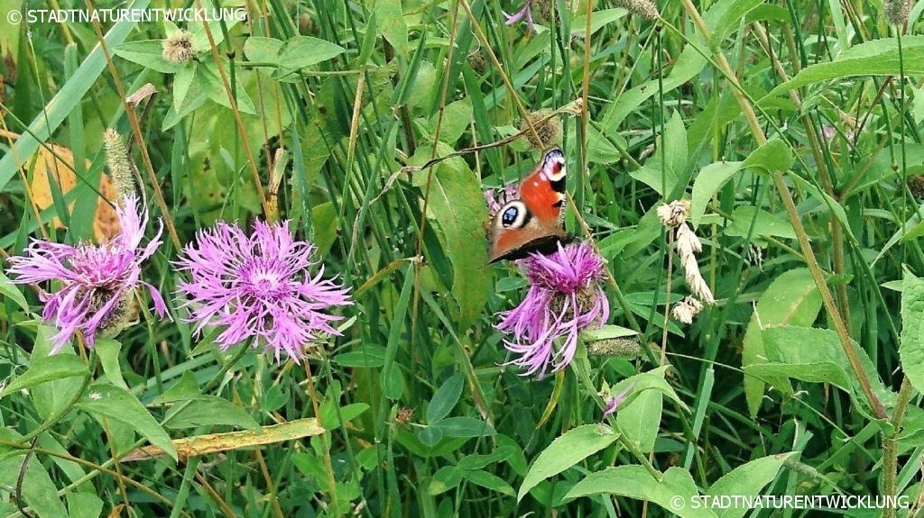 Schmetterling auf Wildblumenwiese